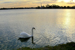 A swan swimming in the lake at dawn.